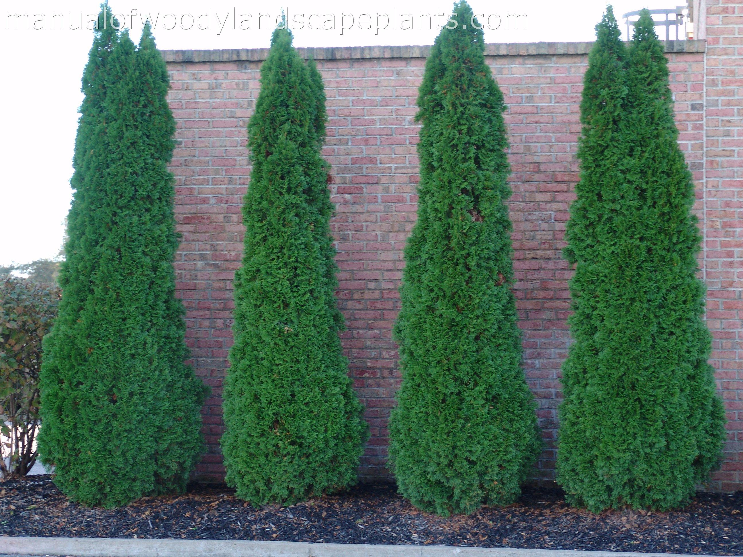 Arborvitae For Sale
